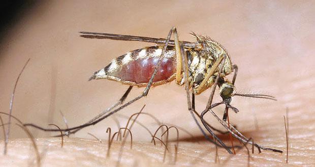 Αποτέλεσμα εικόνας για Κουνούπι τίγρης