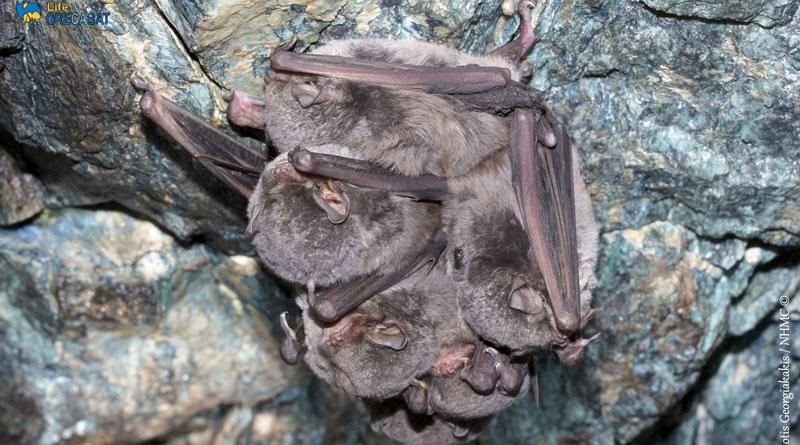 """Αποτέλεσμα εικόνας για Οι νυχτερίδες ως θύματα μαζικής (παρερμηνείας) κατανάλωσης"""""""